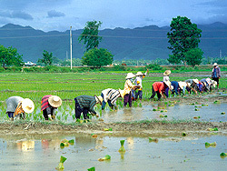 Rice planters enjoy a tough day's sweaty graft